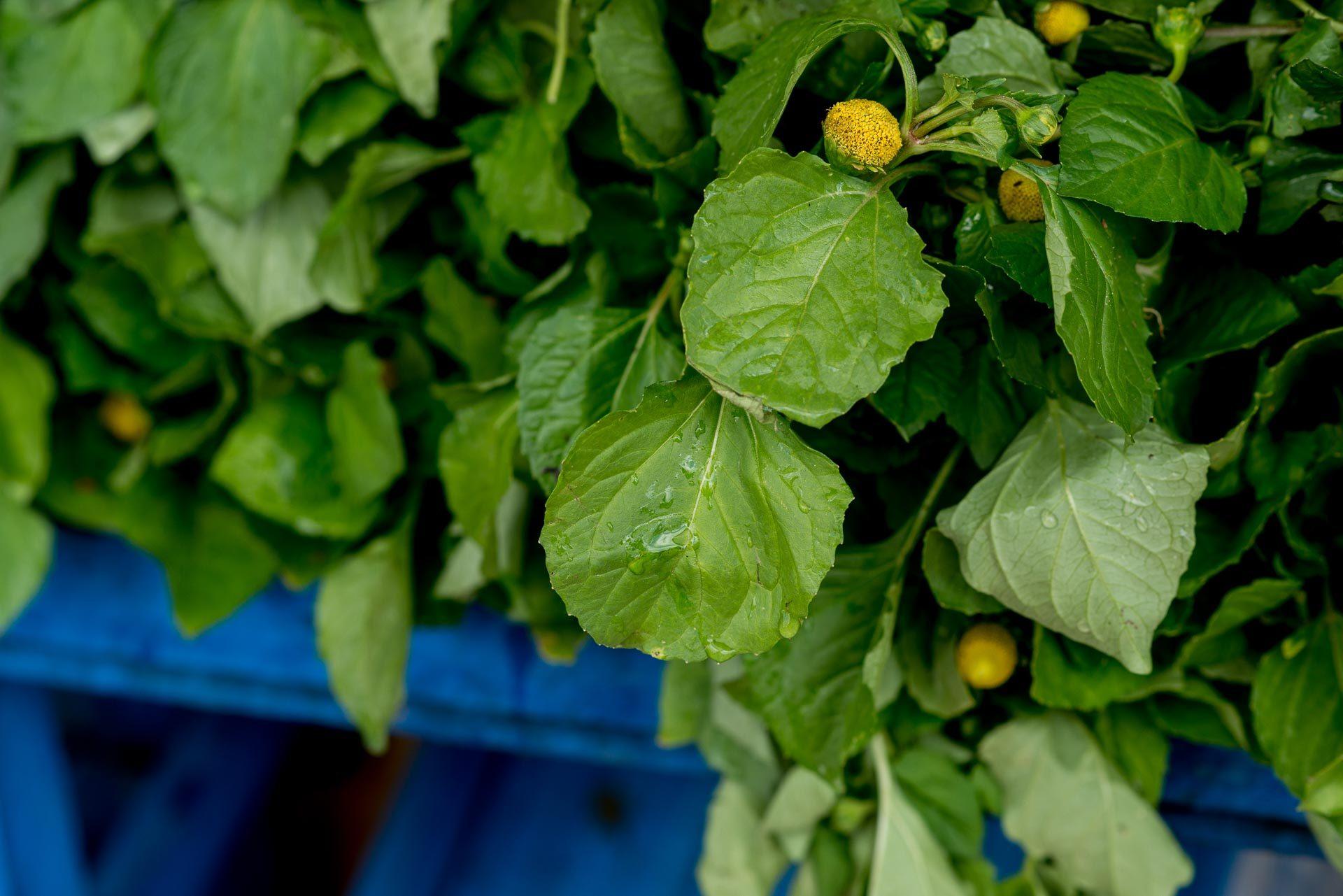 Flor do Jambu - A responsável pela boca tremida